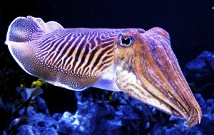 Cuttlefish are the color- and texture-changing BADASSES OF THE SEA. Suck it, octopuses.